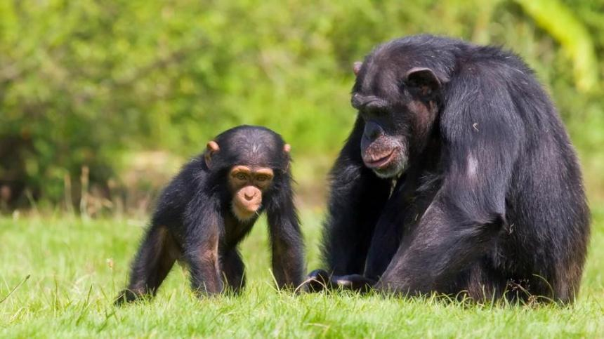 http://kids.nationalgeographic.com/animals/chimpanzee/#chimpanzee-with-baby.jpg