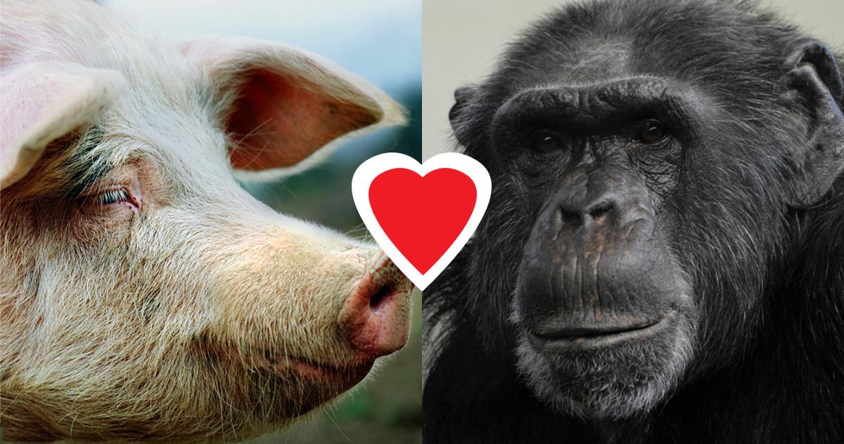 pig-ape